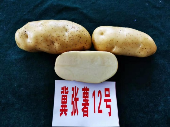 冀张薯12号